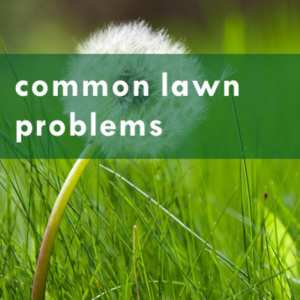 common lawn problems
